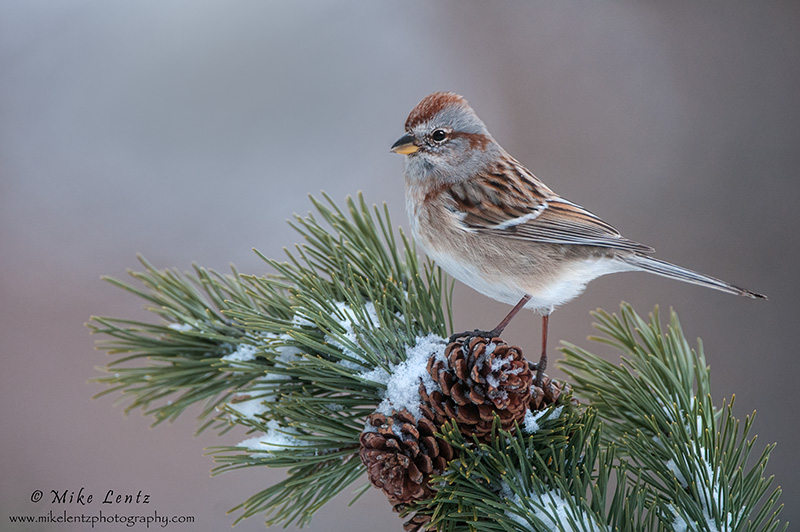 American Tree Sparrow on snowy pines