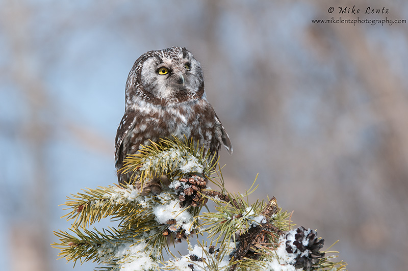 Boreal stare on snowy pines