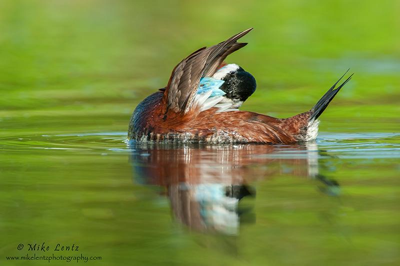 Ruddy duck preening