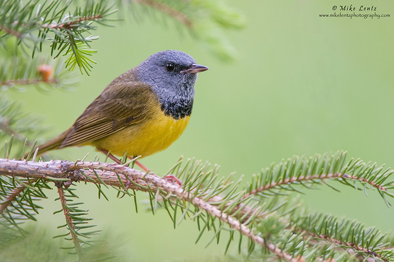 Mourning warbler in pines