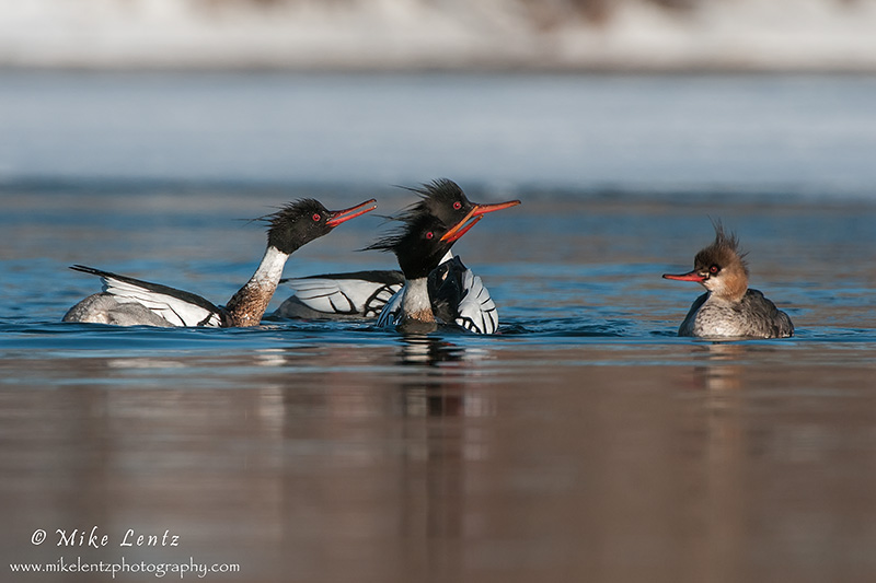 Red breasted Merganser mating display