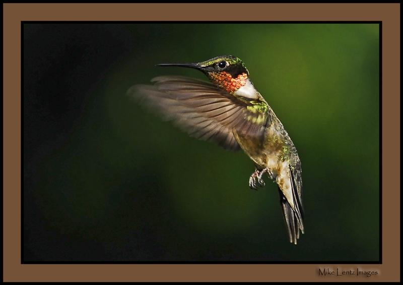 Male Hummingbird beauty!