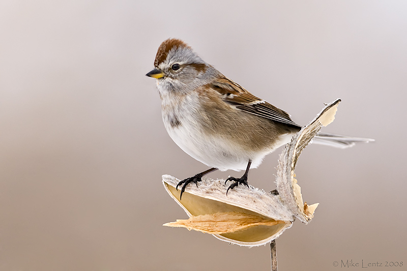 American Tree Sparrow on milweed pod