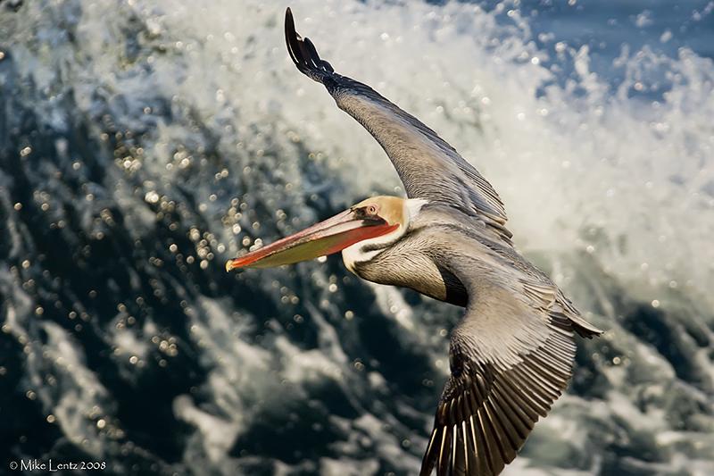 Pelican against surf wall