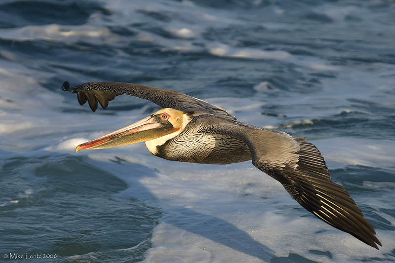 Pelican close up