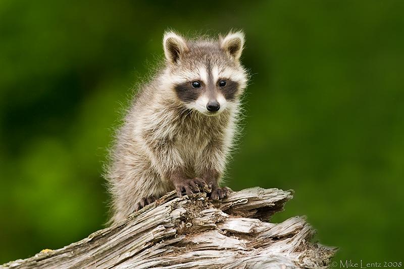 Racoon baby