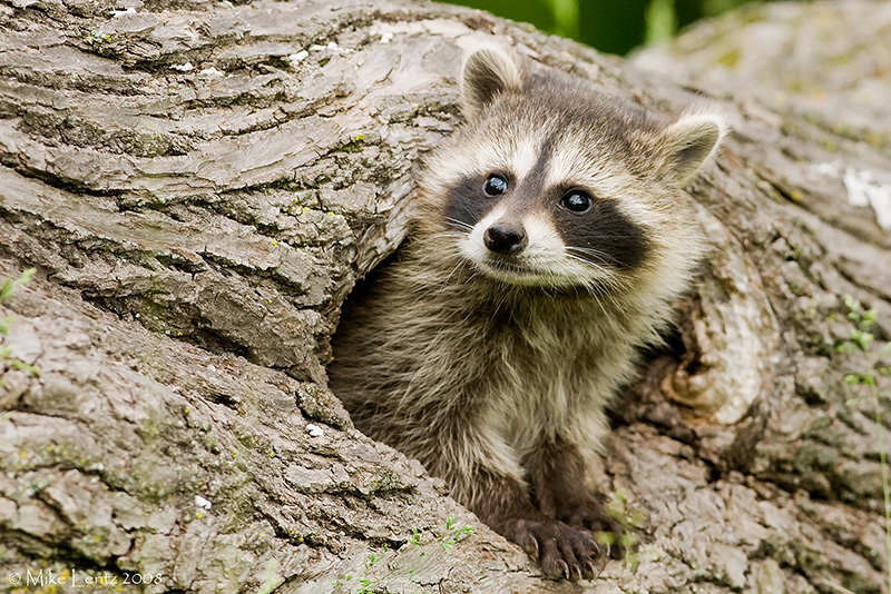 Racoon baby peeks out hole