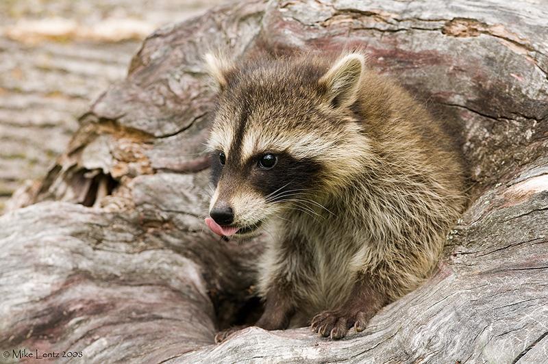 Racoon lick