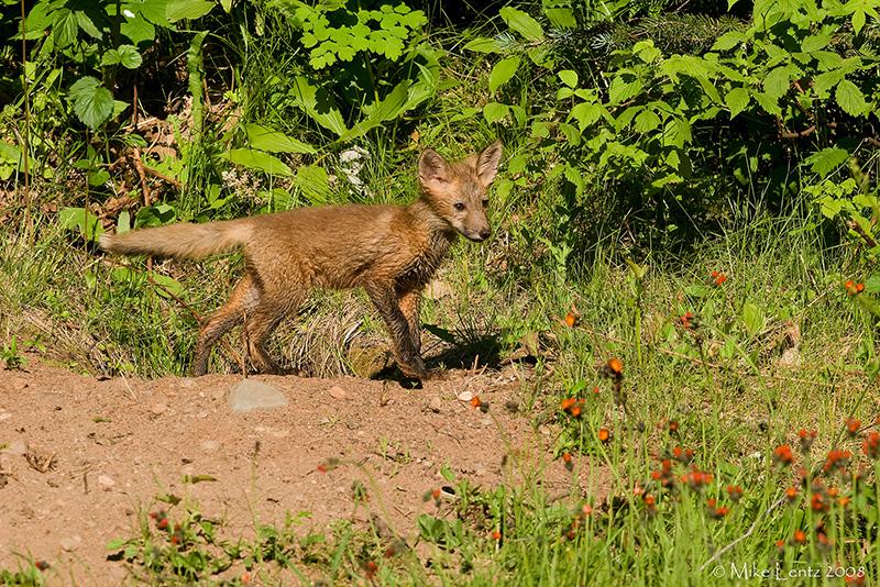 Fox pup at den