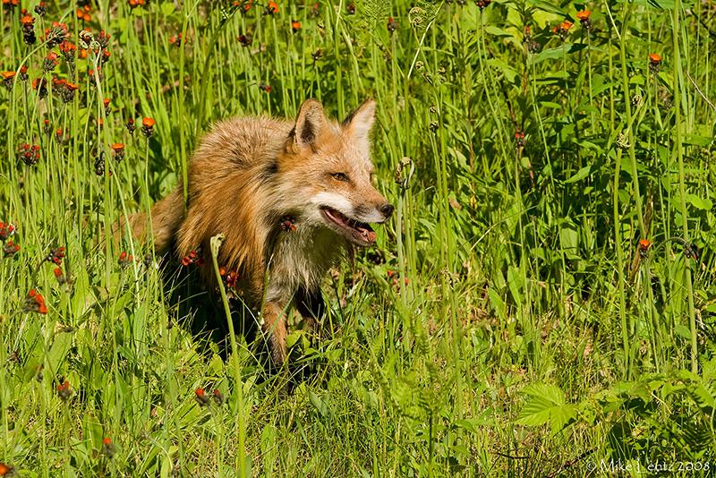 Fox emerging from hawkweed
