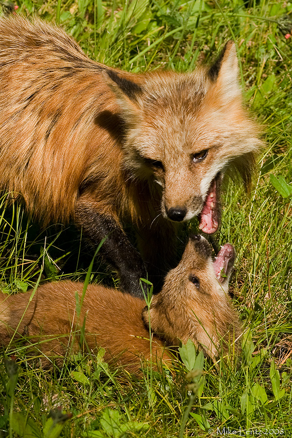 Foxes wrestling