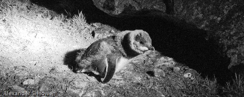 King Island fairy penguin - night landing