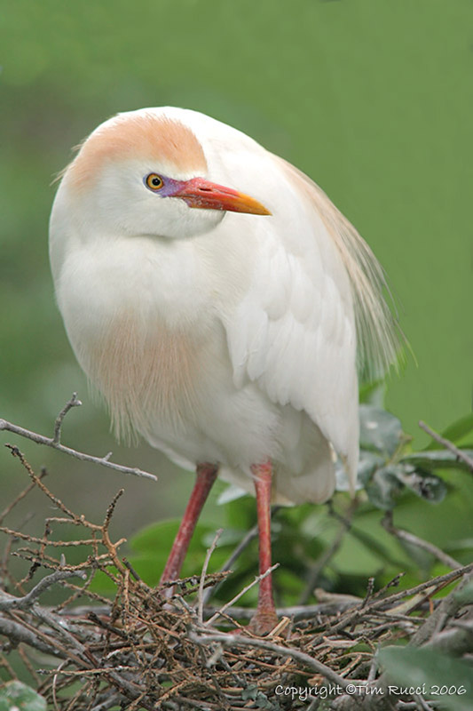 09412  Cattle Egret