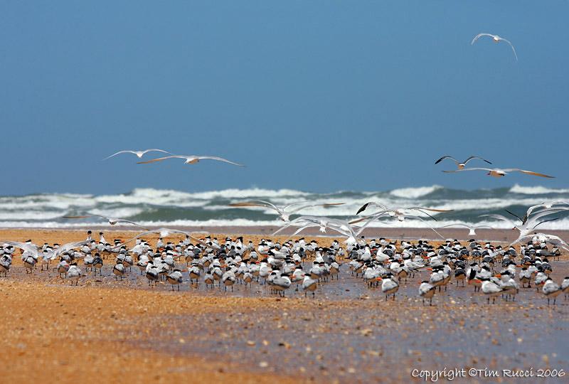 11090 - Terns on the beach