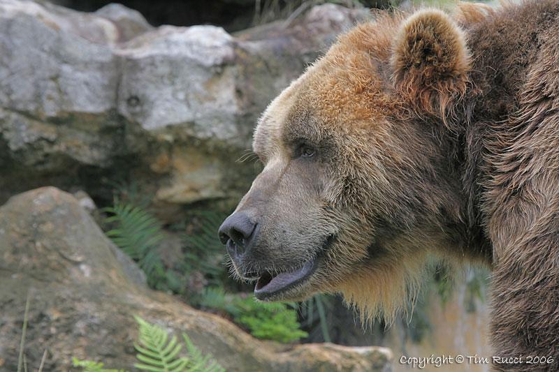 15507 - Kodiak Bear