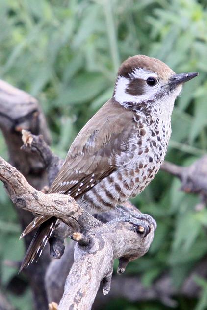 Woodpecker, Arizona 0862