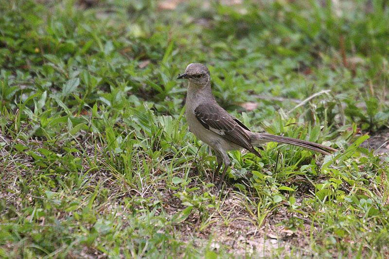Mockingbird, Northern 6697