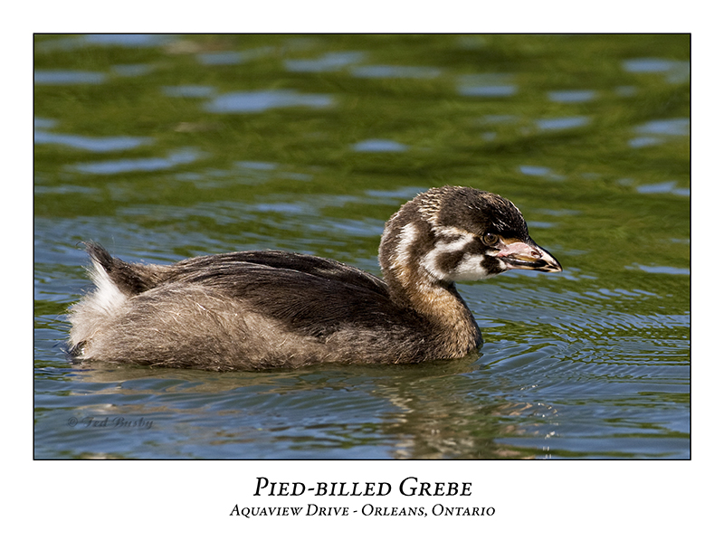 Pied-billed Grebe-028