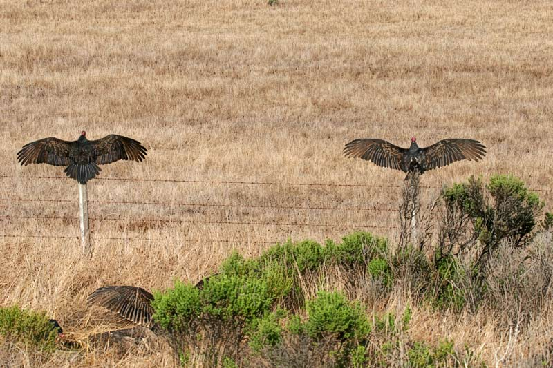 Turkey Vulture spreading wing to warm up.
