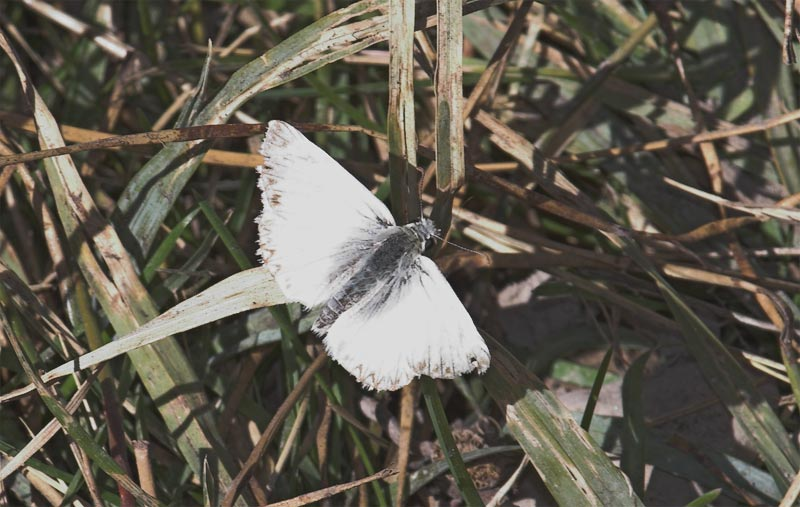 Checkered  White (<em>Pontia protodice</em> )