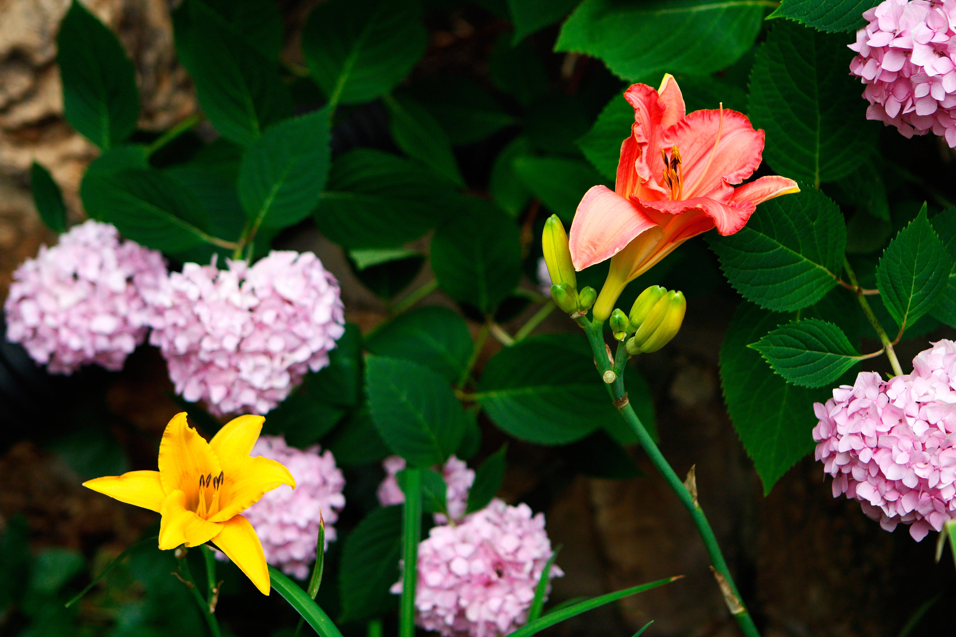 Sun Lillies