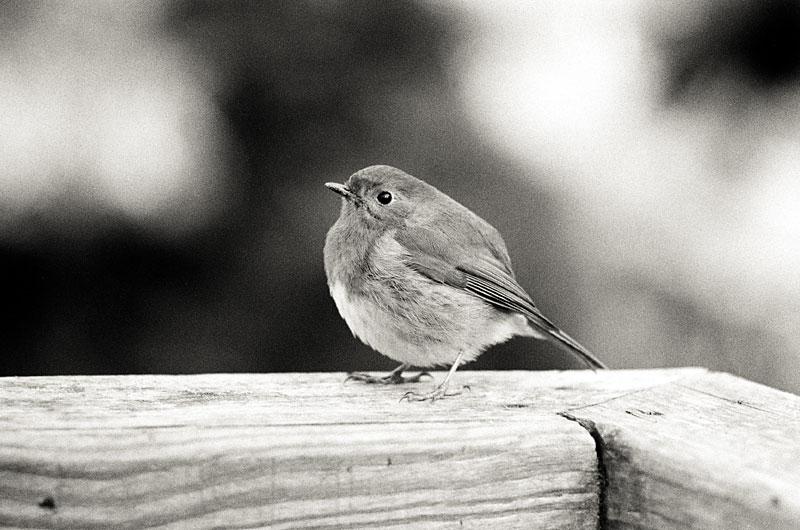 Jan 29: Robin