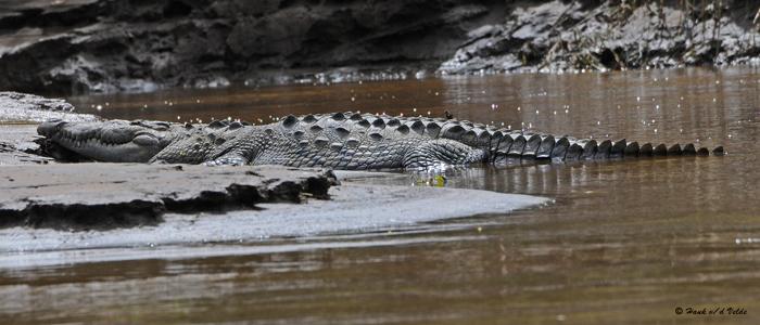20090212 CR # 1 1191 American Crocodile.jpg