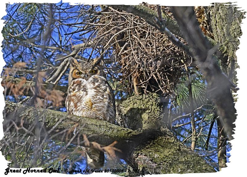 20130308 - 1 027 SERIES - Great Horned Owl HP 1r2.jpg