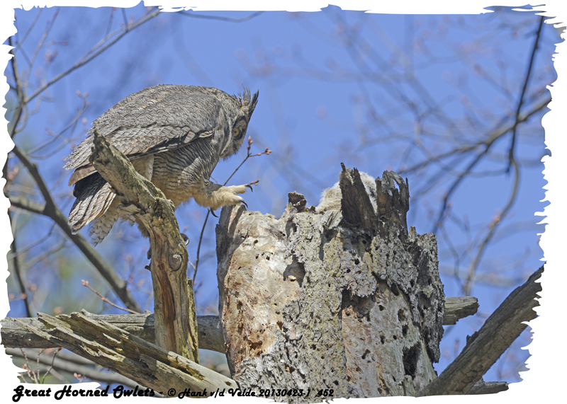 20130423-1 452 SERIES -  Great Horned Owls.jpg
