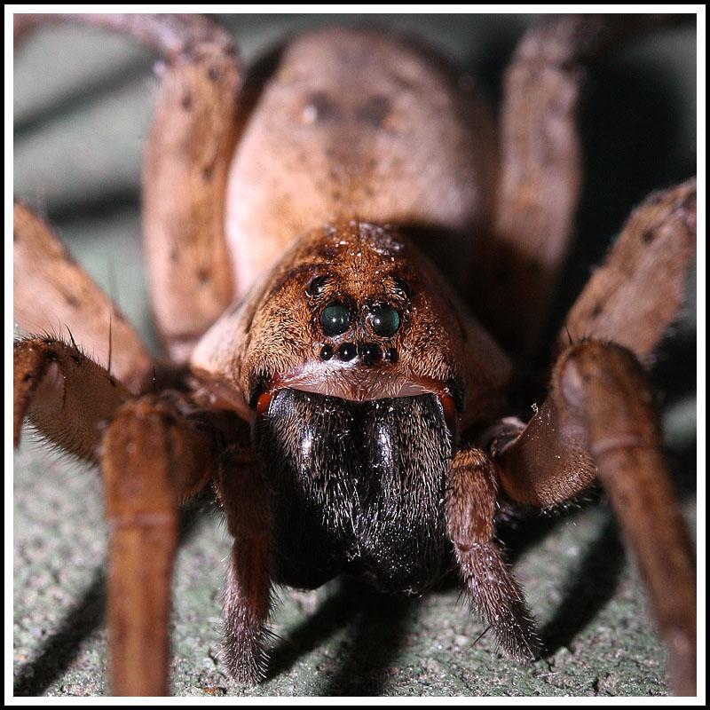 Wolf Spider (is it?)