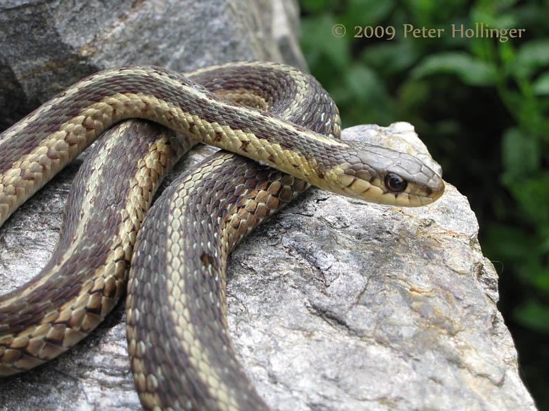 Garter Snake on Stone Ledge