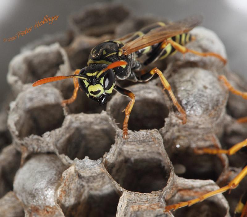 European Paper Wasp Foundress