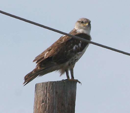 Ferriginous Hawk