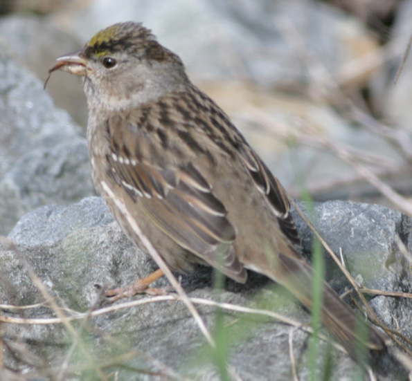 Golden-crowned Sparrow eating