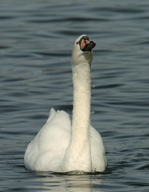 Swan 82.jpg