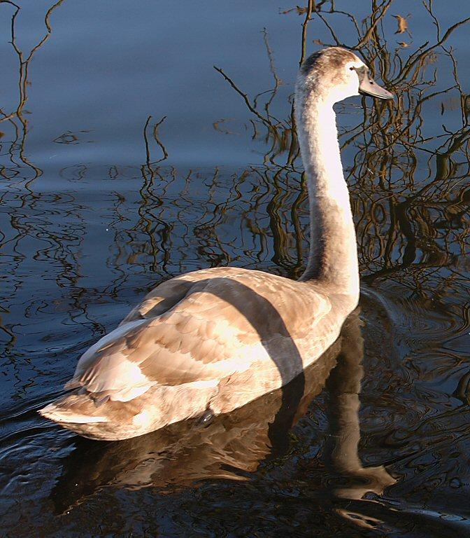 Swan 33.jpg