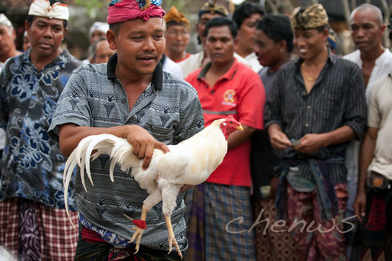 Cock-fighting; the betting starts _CWS5952.jpg
