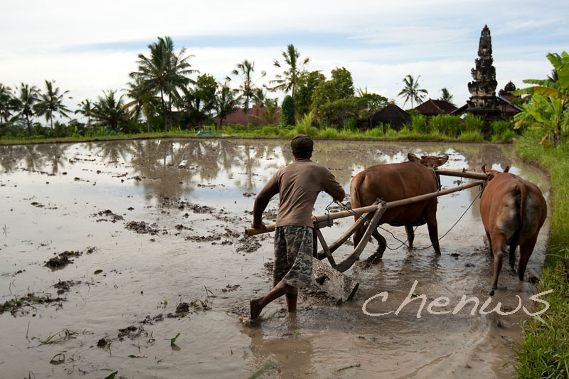 Farmer and buffaloes ploughing the paddy field _CWS6298.jpg