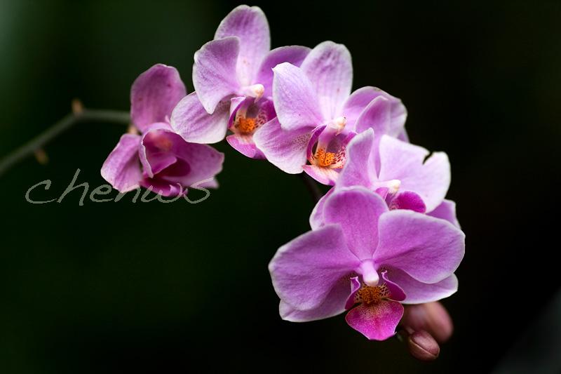 Orchids in the garden _CWS6432.jpg
