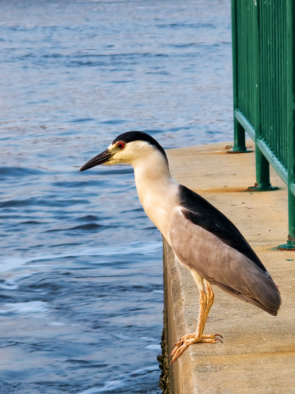 Night Heron on the Edge
