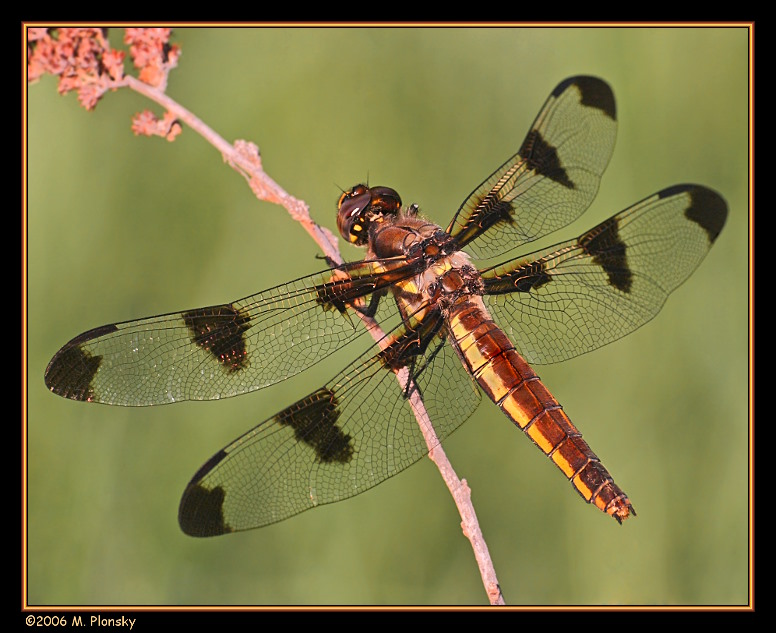 Female Twelve-spotted Skimmer (Libellula pulchella)