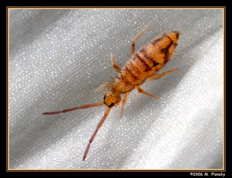 Springtail (genus Entomobrya) (Sp nivalis?)