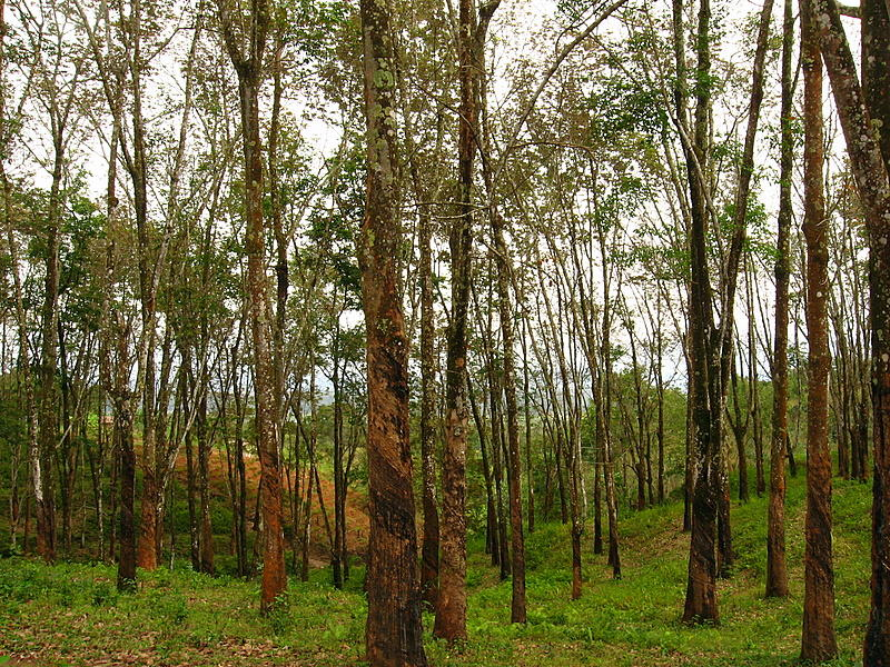 Rubber Trees, Northern Malawi