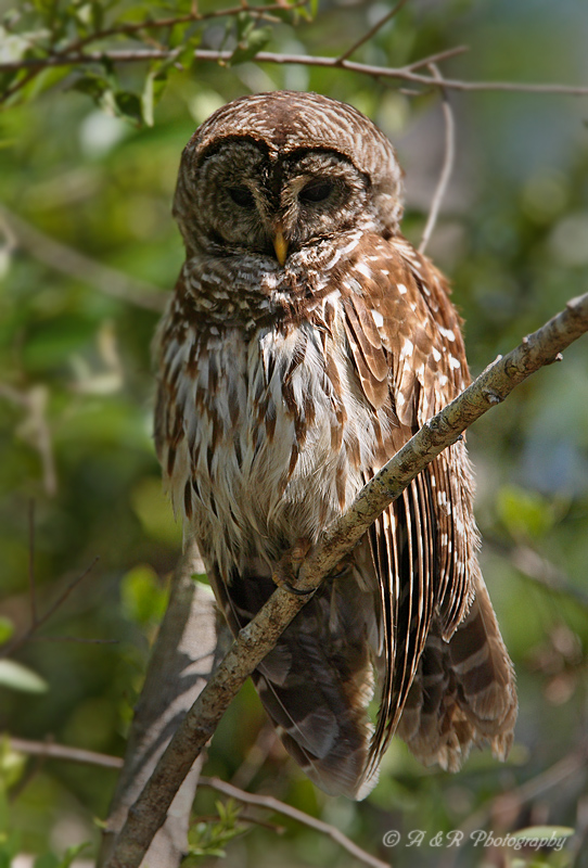 barred owl pb.jpg
