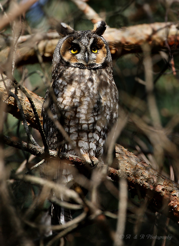 Long-Eared Owl pb.jpg