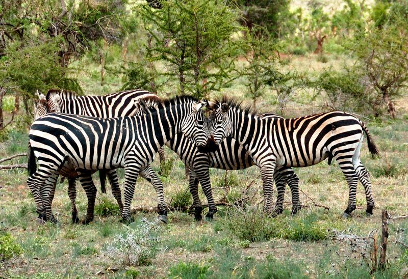 head to head zebras