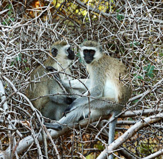 vervet (aka blue-balled) monkeys in a thorn tree