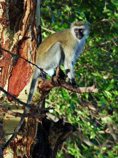 vervet (aka blue-balled) monkey