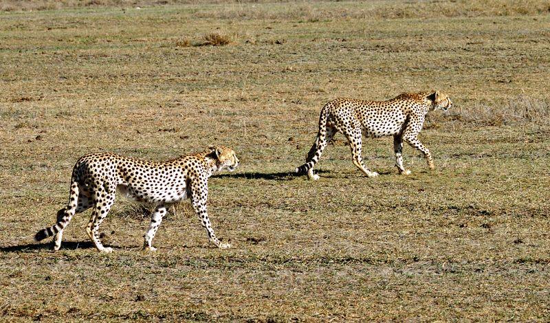 pair of hunting cheetahs