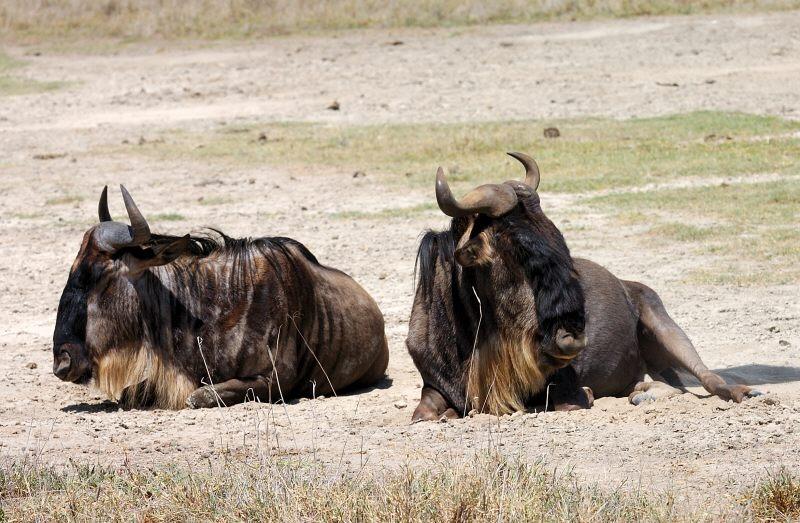 resting wildebeest